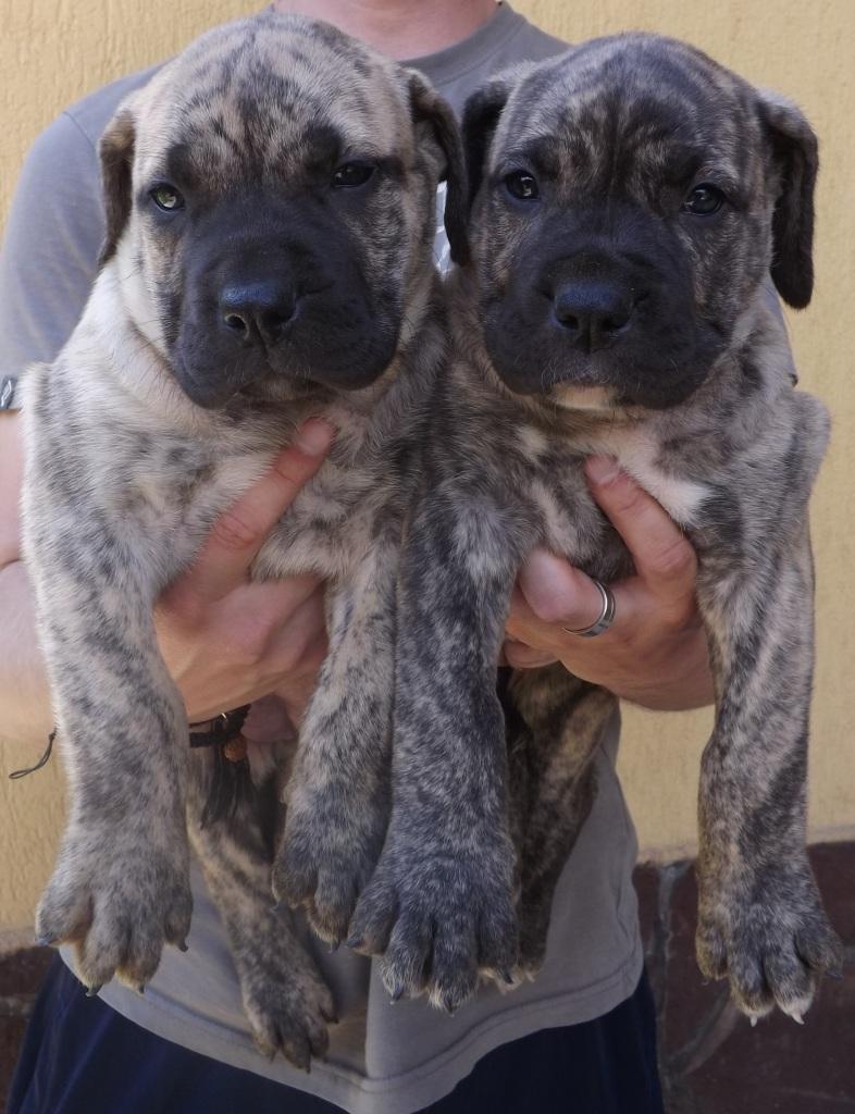 Varro Bull pups